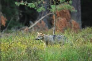 Wolf in Niedersachsen. Foto:_Eike_Mross